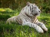 草地上的白老虎