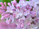 粉嫩的丁香花