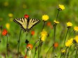 汲取花蜜的蝴蝶