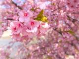 樱花灿烂时