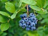 树上的蓝莓