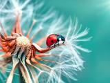 蒲公英上爬的七星瓢虫