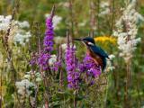 花丛中的翠鸟