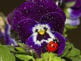 蝴蝶兰上的瓢虫