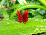 叶子上的红蝴蝶