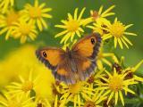 歇息的花蝴蝶
