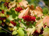 红色野生浆果