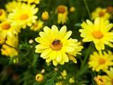 采花粉的蜜蜂