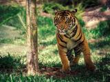 凶狠的老虎