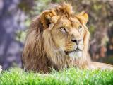 保持警惕的狮子