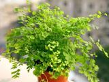 盆栽铁线蕨