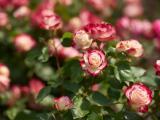娇艳美丽的玫瑰花