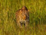 草丛中的印度豹