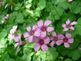 美丽的红花酢浆草