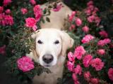 花丛中的金毛寻回犬