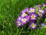 紫色报春花