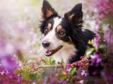 花丛中的边境牧羊犬